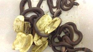 Cobras venenosas nascem em armário de menino de 3 anos
