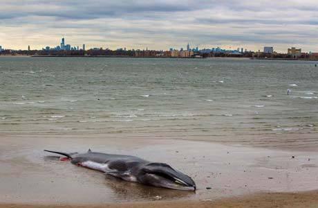 Baleia de 18 metros encalha e morre em praia de Nova York