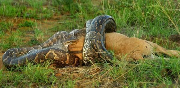 Cobra é flagrada devorando filhote gnu na África do Sul; flagra raro impressionou fotógrafo