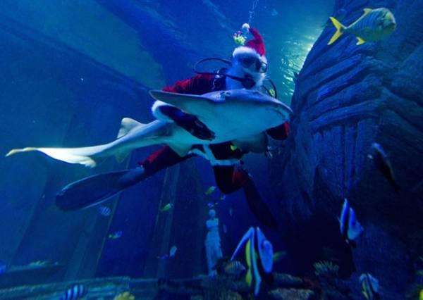 Papai Noel nada abraçado com tubarão em aquário na Alemanha