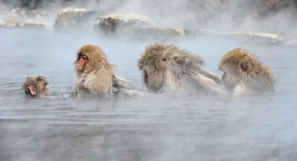 Macacos relaxam em ofurô natural para se proteger do frio