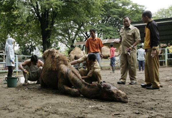 Leão escapa de jaula em zoo e mata um camelo na Indonésia