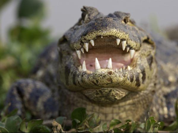 Fotógrafo se arrisca para fotografar jacaré no Pantanal
