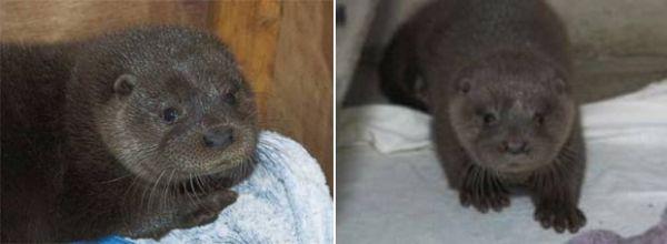 Duas lontras são achadas em posto dos correios e restaurante
