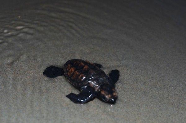 Nascem os primeiros filhotes de tartaruga da temporada no Piauí