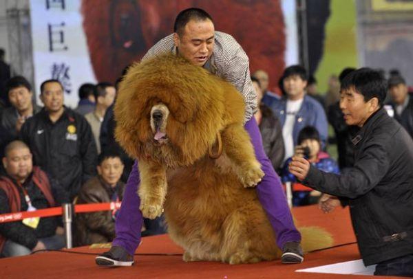 Cão mastim tibetano obeso chama atenção em concurso na China