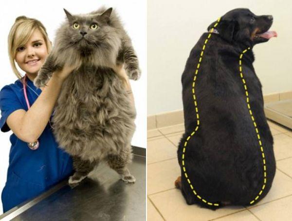 Animais obesos fazem concurso de emagrecimento no Reino Unido