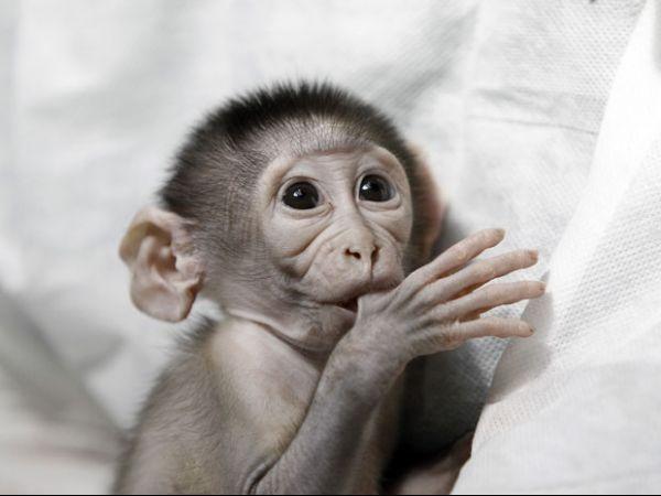 Macaco rejeitado pela mãe vira atração em zoológico francês