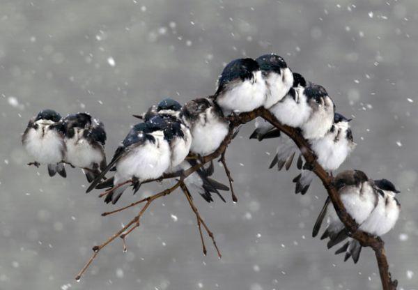 De tanto frio, passarinhos estufam penugem e parecem