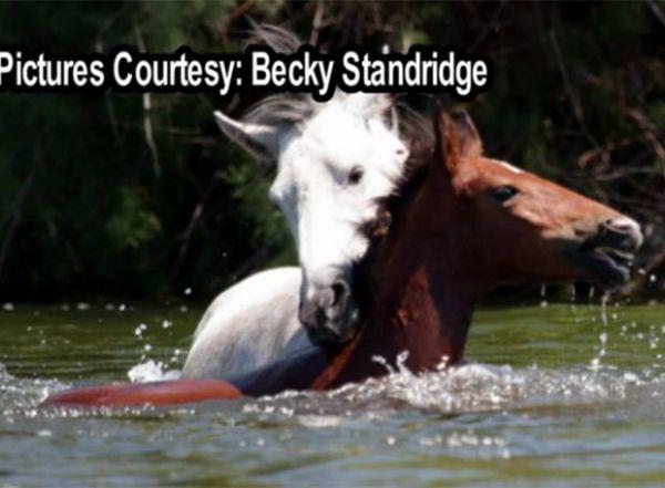 Americana flagra cavalo selvagem salvando outro de afogamento em rio