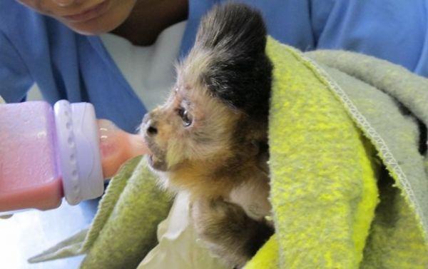 Com moicano de Neymar, macaco recebe nome do craque em SP