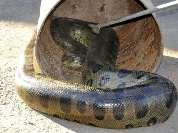 Cobra de 6 metros mata cachorro e é capturada por bombeiros