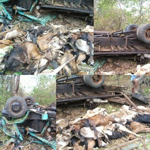 Caminhão carregado de BODE tomba matando o motorista e dezenas de bode
