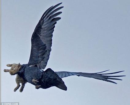 Fotógrafo flagra corvo voando com coelhinho prestes a virar refeição