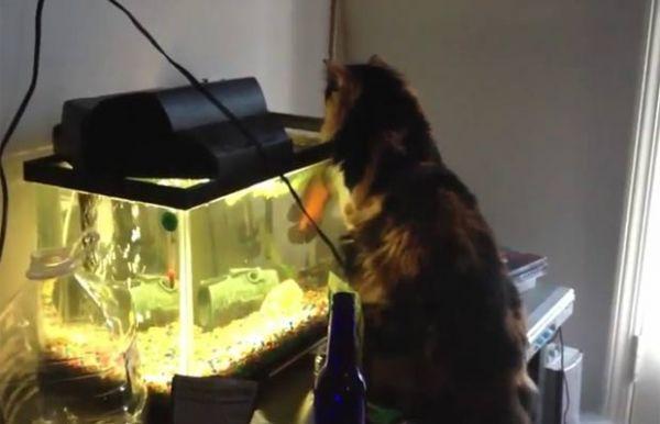 Vídeo mostra peixe de aquário atacando gato