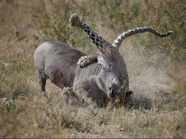 Veja duelos de animais em que a presa levou a melhor sobre predador