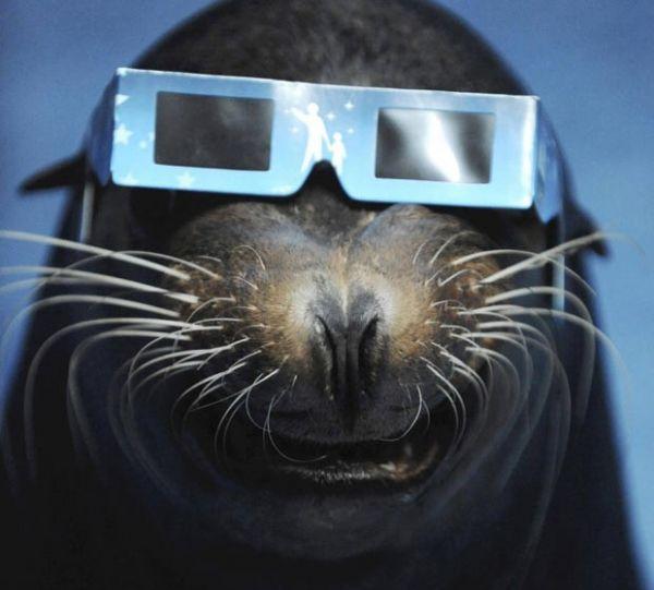 Leão-marinho usa óculos especial durante eclipse solar no Japão
