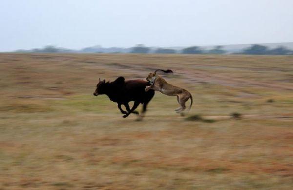 Veja imagens de presas escapando de virar comida de predadores