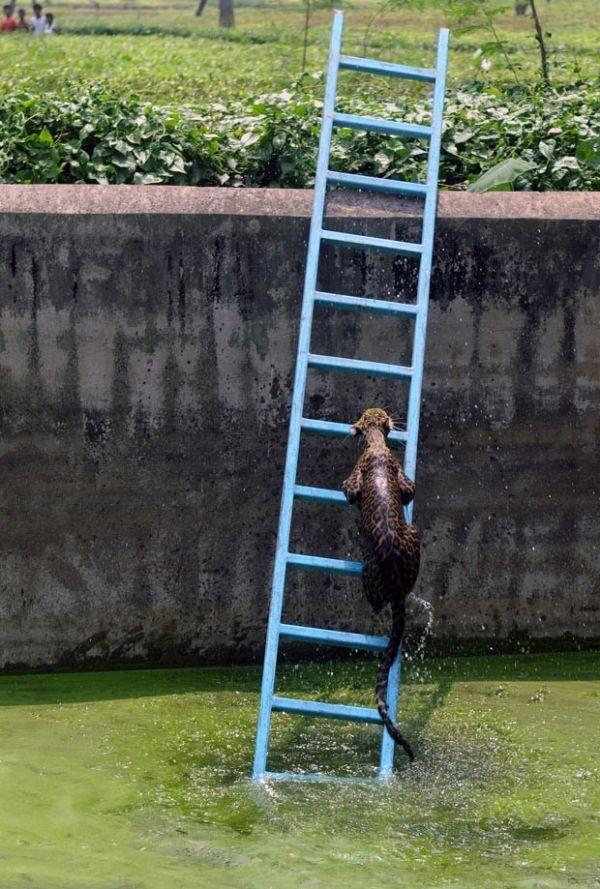 Leopardo sobe escada após cair em reservatório de água