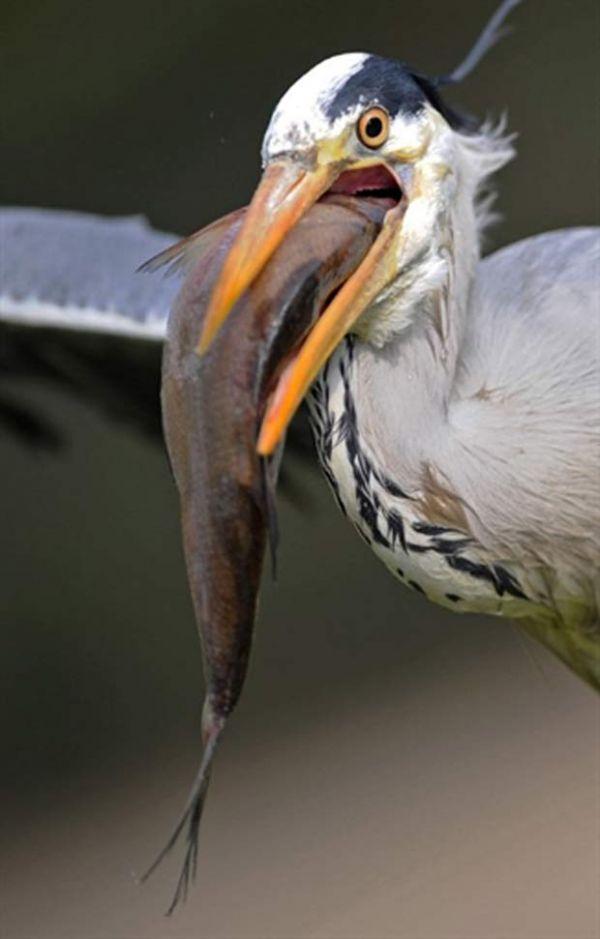Olho grande, bico  pequeno! Veja flagras  de pássaros gulosos