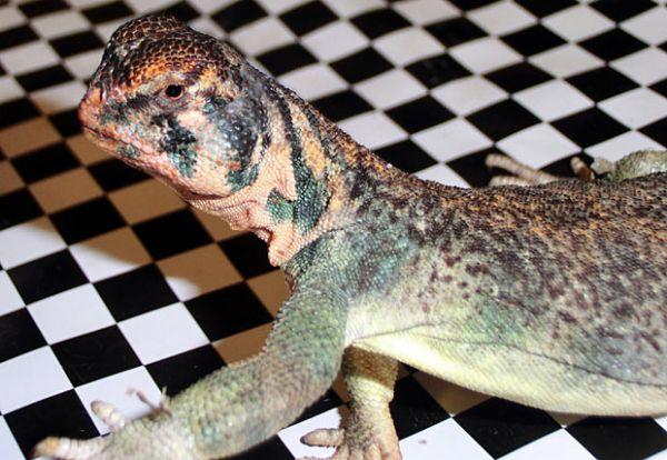 Alemanha apreende 49 lagartos exóticos com passageiro