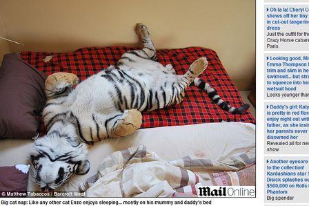 Casal cria tigre de 171 quilos em casa como bicho de estimação