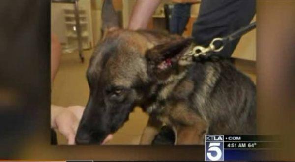 Americano é preso acusado de morder orelha de cão policial