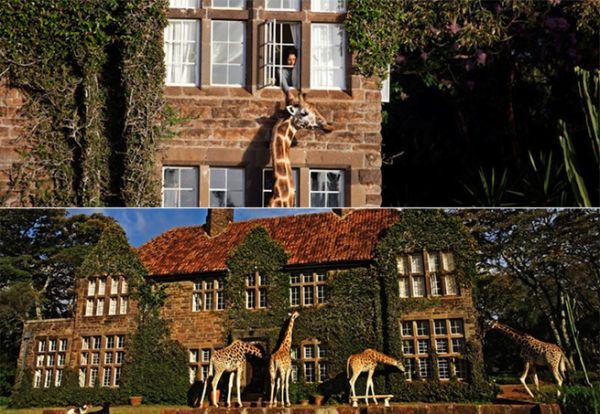 Família divide mesa do café com girafas no Quênia