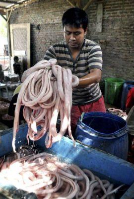 Indonésia conta com abatedouro de cobras para restaurantes
