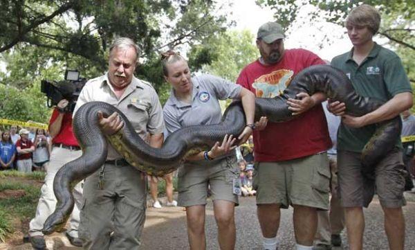 Veterinários de zoo nos EUA medem anaconda de 4,9 m com fio dental
