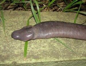 Anfíbio com formato de cobra é descoberto; veja fotos