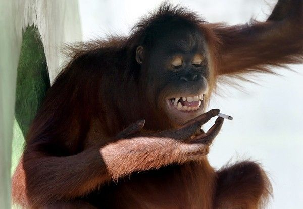 Orangotango será afastada do público para parar de fumar