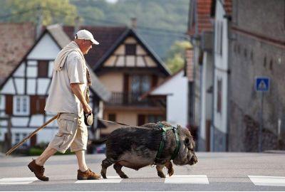 Casal adota javali selvagem na França
