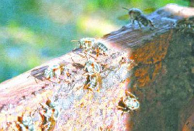 No Piauí, abelhas sem ferrão ajudam produtores de mel
