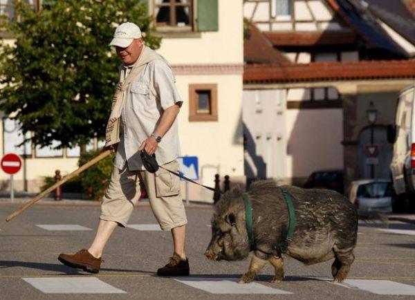 Homem leva javali de estimação para passear de coleira pela França