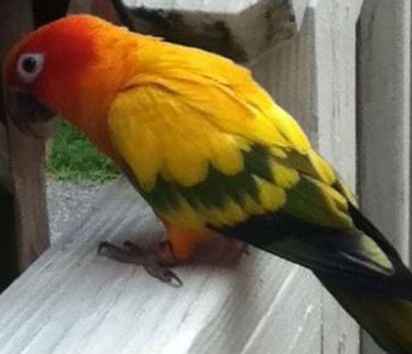 Papagaio é