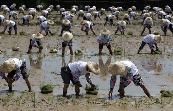 Agricultores plantam mudas de arroz para recorde em Taiwan
