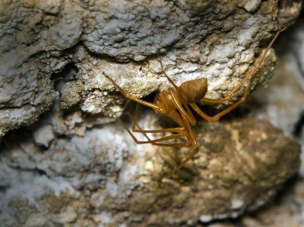 Nova espécie de aranha é a 1ª da América do Norte desde 1870