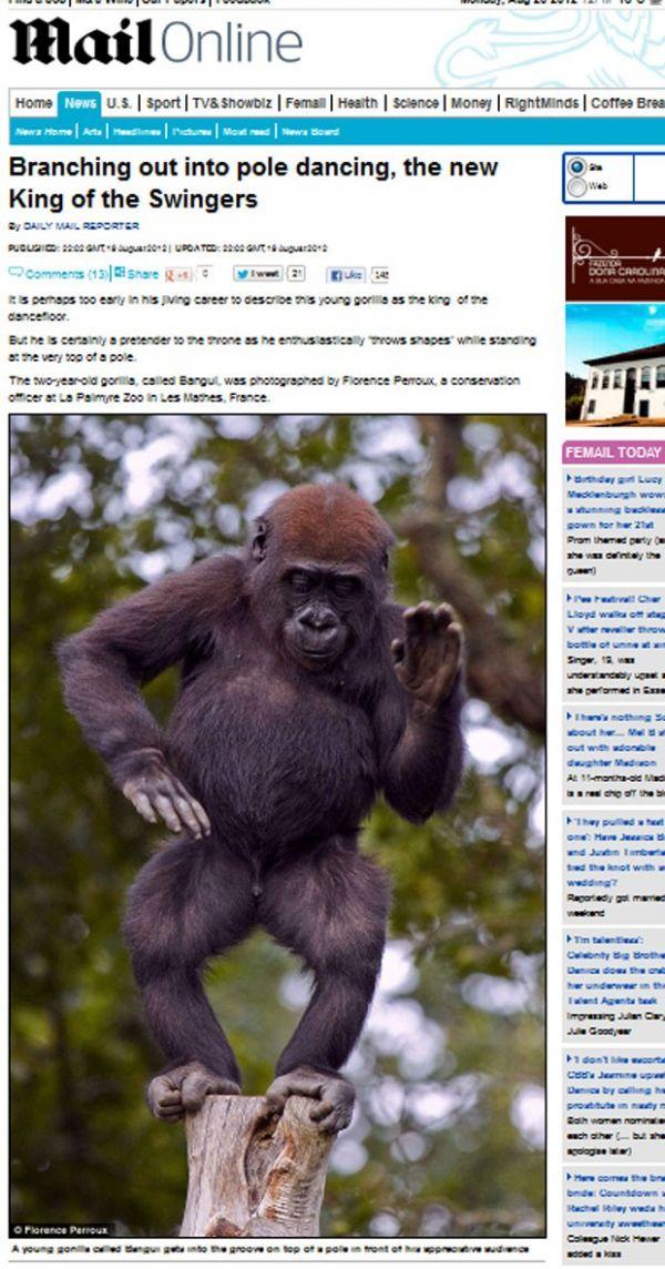 Bebê gorila se exibe com