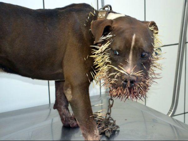 Cão é atingido por mais de mil espetadas ao atacar porco-espinho