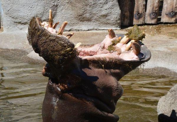 Hipopótamo abre a boca quase em ângulo de 180º em zoo alemão