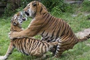 Tigre é abatido após matar sua tratadora em zoológico alemão