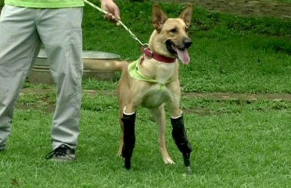 Cão com patas cortadas por gangue ganha pernas artificiais
