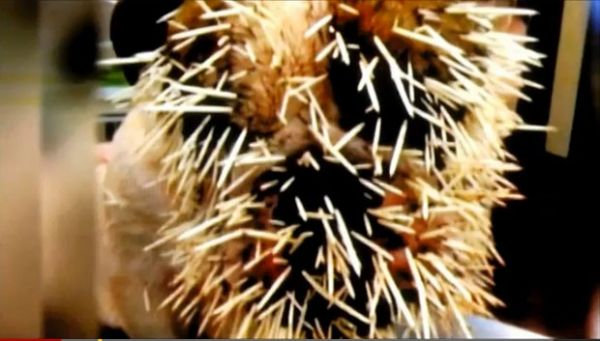 Cadela leva a pior em luta contra porco-espinho nos EUA