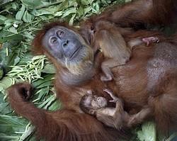 Coisa de Bicho: Orangotango idosa é operada de catarata e vê os filhotes pela 1ª vez