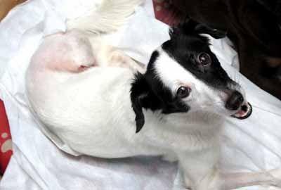 Após agonizar por quinze dias e perder 2 patas, cadela é adotada