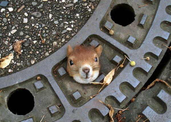 Esquilo é salvo após entalar a cabeça em tampa de bueiro