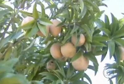 Pesquisadores testam cultivo de maçã e pera no sertão nordestino