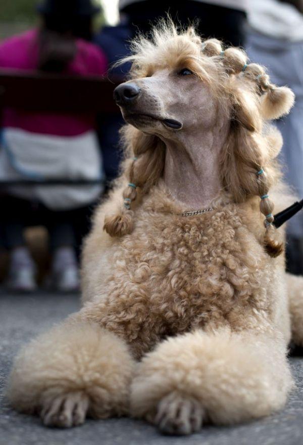 Cão exibe trancinhas em evento canino na Suécia