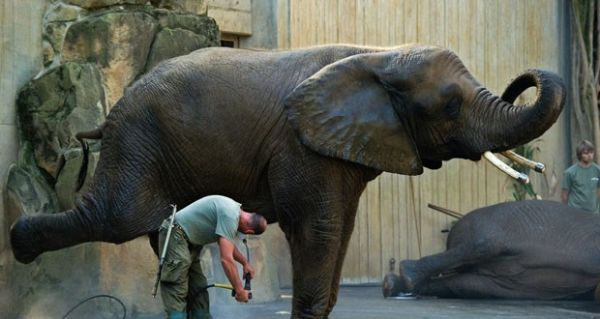 Elefante ergue a pata durante lavagem da área íntima em zoo